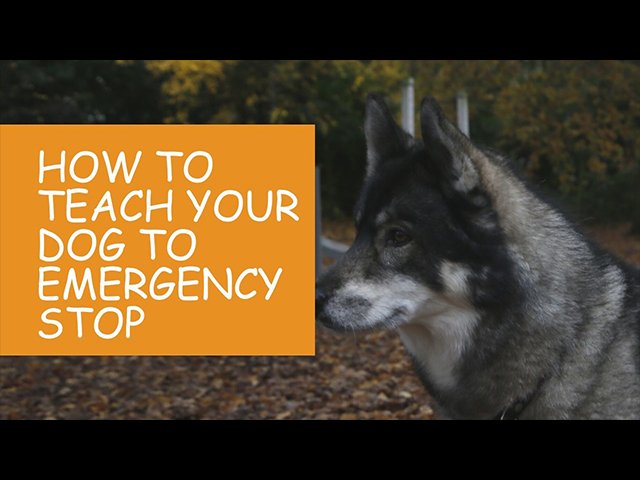 How-to-Teach-Your-Dog-an-Emergency-Stop-Tutorial-Video.jpg