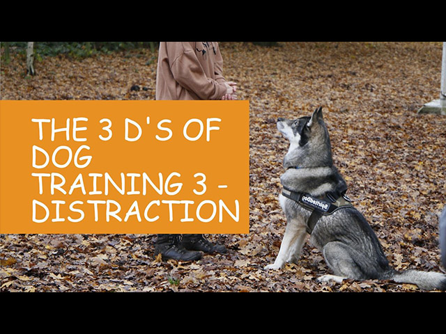K9 Kindergarten Tutorial Video The 3 Ds of Dog Training 3 Distraction.jpg