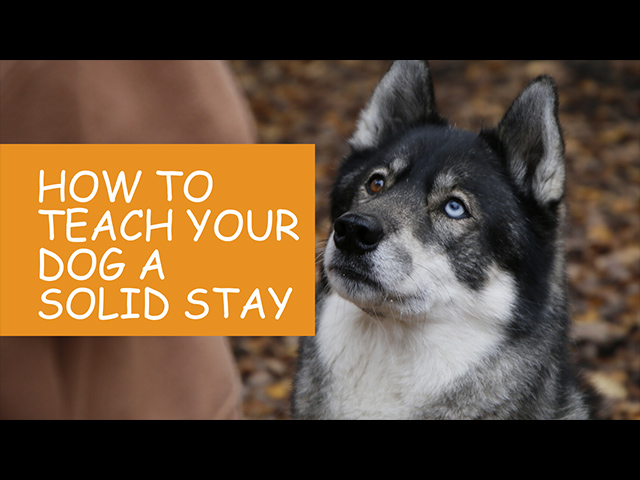 How to Teach Your Dog a Solid Stay.jpg